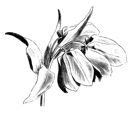Fritillaria meleagris is a Eurasian species of flowering plant in the lily family. The flower has a chequered pattern in shades of purple, vintage line drawing or engraving illustration. Illustration