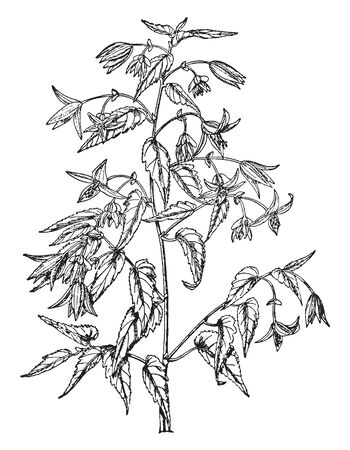 A very beautiful plant with scarlet flowers. Bell shaped flowers covering the plant. The flowers are grown at the top of the branches, vintage line drawing or engraving illustration.
