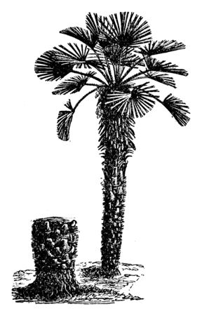An illustration of a dwarf palm, vintage line drawing or engraving illustration.