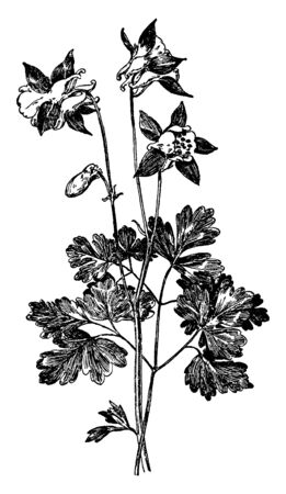 A picture shows Aquilegia Glandulosa Flower plant. It is commonly known as Siberian columbine, is a compact perennial, blue-green basal leaves and nodding blue and white flowers, vintage line drawing or engraving illustration.