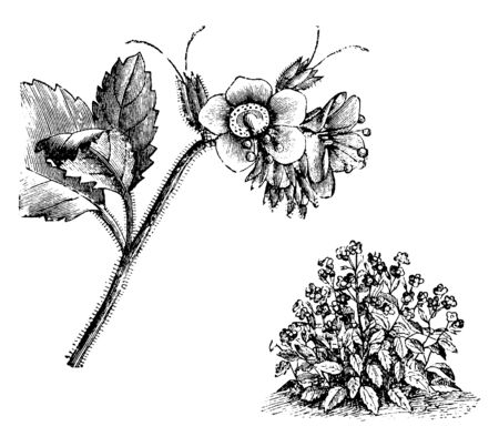 This picture represents Habit and Detached Flowering branch let of Phacelia Viscida. These flowers are blue or purplish colour; grows in July. Stems are erect from its branches, vintage line drawing or engraving illustration.