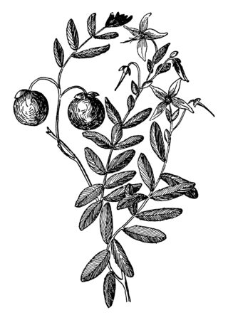 This frame has Berry Sapling. Those berries are called Cranberry. Those berries are used for Health, vintage line drawing or engraving illustration. Ilustração