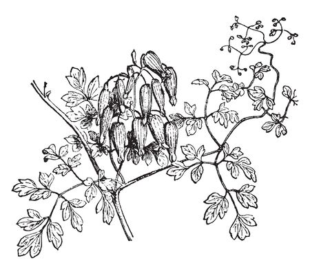 The image of Adlumia flower plant. It is an herbaceous, creeping, flowering plant, vintage line drawing or engraving illustration. Imagens - 132870065