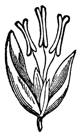 This picture showing of red top grass flowers, the flowers inside stigma and anther there are some sepal downside, vintage line drawing or engraving illustration.