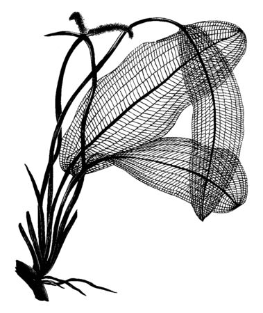 Lace-Leaf plant is an aquatic plant. Its leaves grow in under water and flowers grow above the waters surface, vintage line drawing or engraving illustration. Stock Illustratie