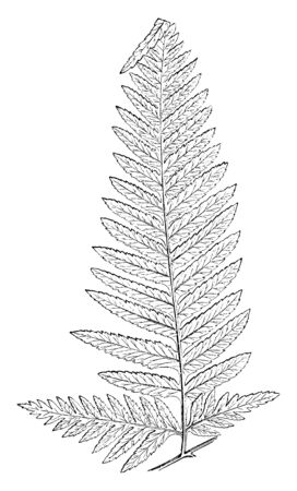 A picture of Pteris Tremula and Its known as Australian brake. This is a fast-growing fern with finely-cut fronds, vintage line drawing or engraving illustration.