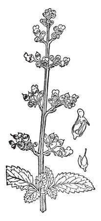A picture is showing Figwort, it also known as Scrophularia marilandica. It belongs to the figwort family, Scrophulariaceae. The illustration shows 1) a cross section of a flower, 2) fruit, vintage line drawing or engraving illustration.