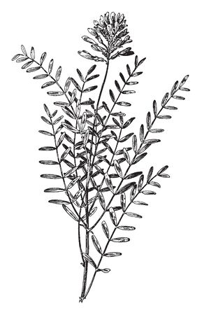 The oval shaped leaves and they alternate attached. Leaflet up to 2 cm long. The upper side is one bunch of flower. They growing on stem, vintage line drawing or engraving illustration. Illustration