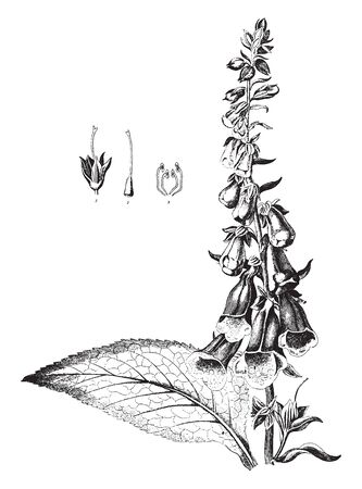 The leaves are long and broad, with serrated margin. Purple Foxglove flowers produce on long stem. A funnel shaped flower, vintage line drawing or engraving illustration. 向量圖像