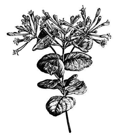 This is a flowering branch of Lonicera Flexuosa and also known as honeysuckle. It has very fragrant yellow flowers, vintage line drawing or engraving illustration. Vector Illustration