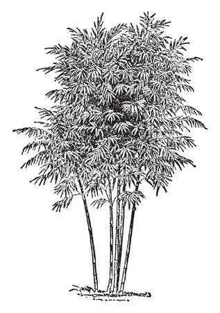 Bamboo is a genus of grasses, which most of the species attain a great size, It is grows to 20 or 30 feet, vintage line drawing or engraving illustration. Illustration