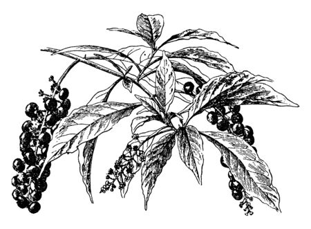 It is a poke weed plant, with its large size leaves and dark black colour round fruit like cherry, vintage line drawing or engraving illustration. Иллюстрация