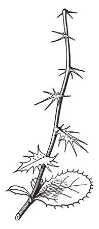 There is a shrub with a thorny branch. There is a lot of thorns on the branch, leaves are low in quantity, vintage line drawing or engraving illustration. Illustration