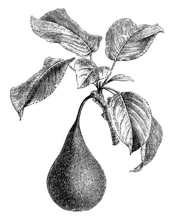 A small branch or division of a branch containing one pear fruit and few leafs, vintage line drawing or engraving illustration.
