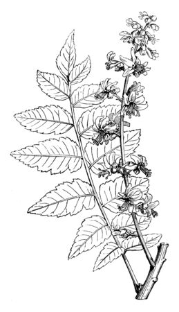 Koelreuteria Paniculata is a goldenrain tree found mainly in eastern Asia, in China and Korea. It grows 30 to 40 feet tall, flowers are bright yellow in color and blooms from July-August, vintage line drawing or engraving illustration.