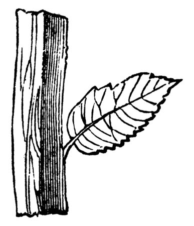 This is an image of square shape stem and the leaf attached with the stem, vintage line drawing or engraving illustration.