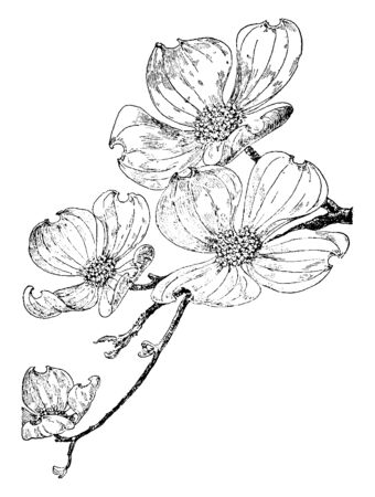 An image showing Flowering Dogwood. It belongs to Cornaceae family. Its common name is Cornus Florida. This is a flowering plant, which native to eastern North America. The flowers have four petals, vintage line drawing or engraving illustration.