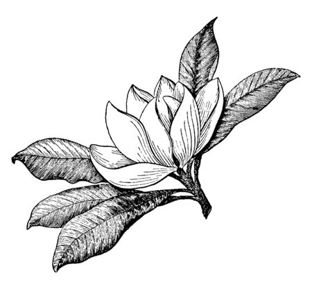 This Magnolia flower is a large species of flowering plants, vintage line drawing or engraving illustration. Ilustrace