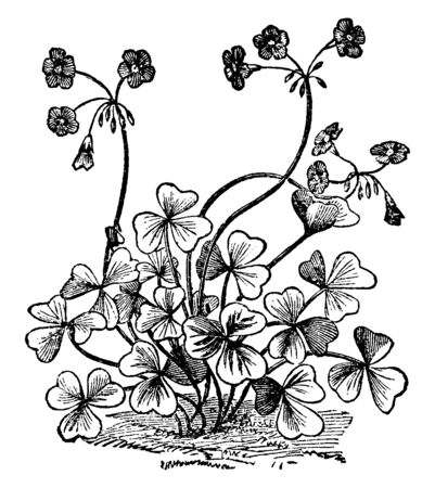 Oxalis Bowiei is a flowering plant in the Oxalidaceae family. Leaves are heart shaped lobes, there are three leaves attach on one center. 3-4 flowers grown on end stem, vintage line drawing or engraving illustration. Illustration