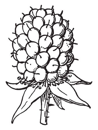 This is Drupels fruit. Fruits are black, ripening berries strongly connected to stem. Inside each berry thread-like fibers are present. Leaves are long and soft, vintage line drawing or engraving illustration. Illustration