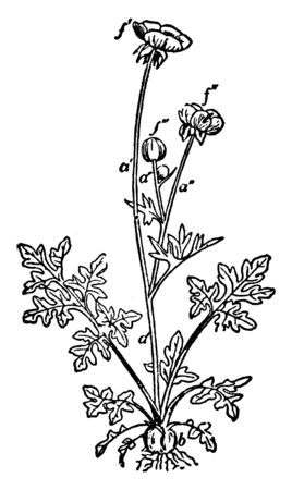 A picture is showing Bulbous Buttercup, commonly known as Ranunculus bulbosus. It belongs to buttercup family, Ranunculaceae. It has yellow flowers, vintage line drawing or engraving illustration.