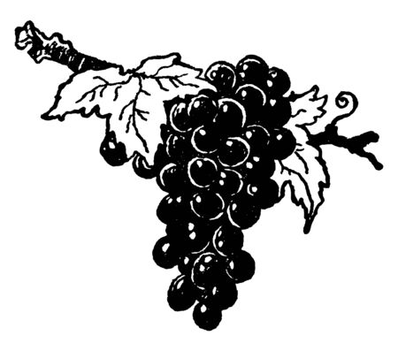 A picture showing bunch of Grapes which is a fruit, or a berry, of the deciduous woody vines of the flowering plant genus Vitis, vintage line drawing or engraving illustration.