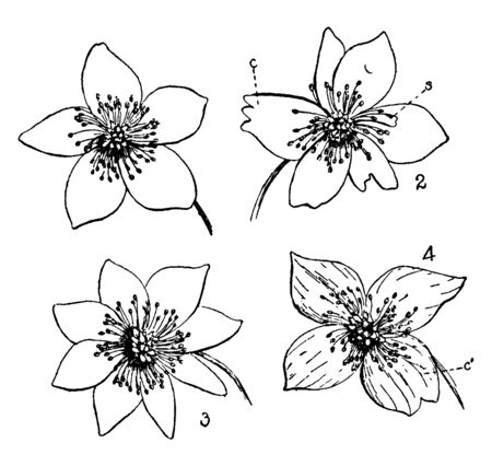 Picture is showing Buttercup Flowers. 1. Flower with 5 petals, 2. Coalescence (c) Petalody of stamens, (s) a stamen partially transformed into a petal, 3. Petalody of stamens, 4. Coalescence of petals, vintage line drawing or engraving illustration.
