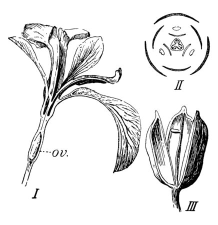 A picture showing Iris. This is the stages of flower growing. I: is the flower and in it showing ov., II: diagram is showing stigmas opposite the stems, vintage line drawing or engraving illustration.