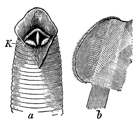 Medical Leech showing the three jaws and one of the jaws isolated with the finely toothed free edge, vintage line drawing or engraving illustration.