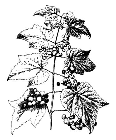 A picture shows Ampelopsis Heterophylla Variety Amurensis Plants. The leaves are divided, multilobed up to the midrib and It has speckled, bright blue spherical berries, vintage line drawing or engraving illustration.