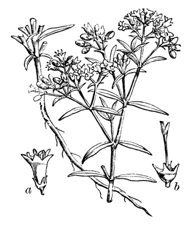 Chay root is a small, annual plant. It grows in tropical climate, vintage line drawing or engraving illustration.