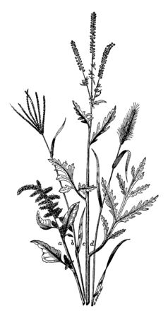 It is a common weed which are taken by birds and it is showing as parts in picture as amaranth; b, crab grass; c, ragweed; d, pigeon grass, vintage line drawing or engraving illustration.