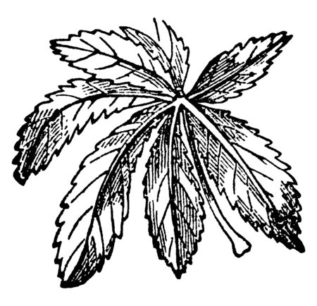 Six to seven leaf are attached on the one point. The leaf is toothed, long and thin, vintage line drawing or engraving illustration.