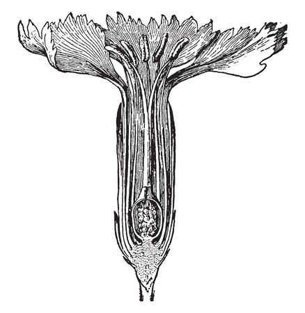 A picture of Section of Carnation flower. In this image there are show you Anther, stigma, ovule, petal and filament, vintage line drawing or engraving illustration.
