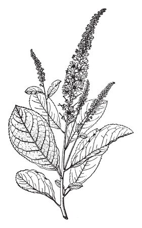 Picture of Clethra Tomentosa twig, it is upright deciduous shrub and fragrant white flowers, vintage line drawing or engraving illustration. Çizim