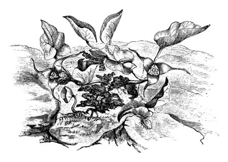 Asarum Caudatum is a perennial. They are evergreen and leaves are shape like heart, vintage line drawing or engraving illustration.