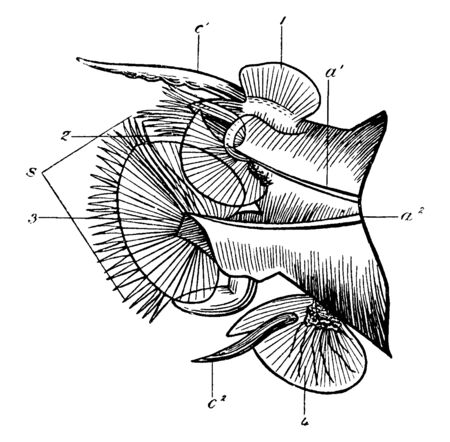 Nansenia Pelagica where the acicula or supporting bristles of notopodium and neuropodium, vintage line drawing or engraving illustration.