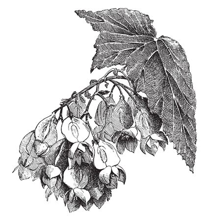 The Begonia Madame de Lesseps flower bunch is tilted downwards, and leaves are large and thick, vintage line drawing or engraving illustration.