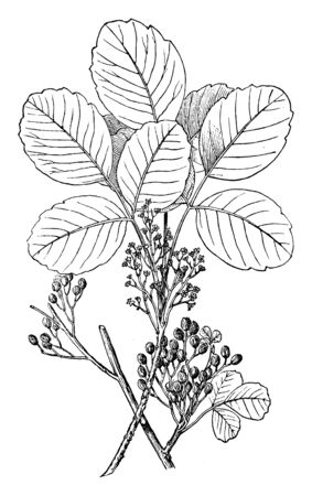 Poison oak grows wild as a woody shrub, Poison oak is native to the western United States and can be seen anywhere across North America. It causes an itchy, blistering rash after it touches your skin, vintage line drawing or engraving illustration.