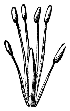 A picture showing Linnaeus Tetradinamia. This is the sexual system of a plant and there are six stamens in it, four of them are longer, vintage line drawing or engraving illustration.