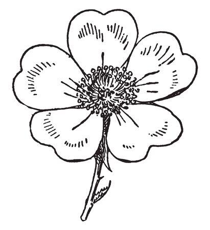 È noto come fiori di petali gialli. Il cuore del petalo a forma di cinque petali, disegno dell'annata o illustrazione incisione.