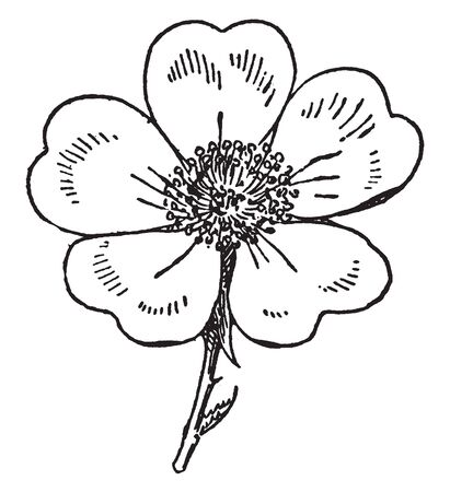 It is known as yellow petal flowers. The petal heart shaped with five petals, vintage line drawing or engraving illustration.