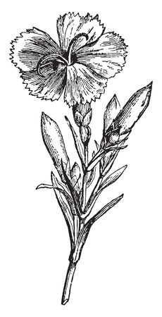 This picture is showing Clove Pink flower known as carnation species of Dianthus mostly found in china, vintage line drawing or engraving illustration. Illustration