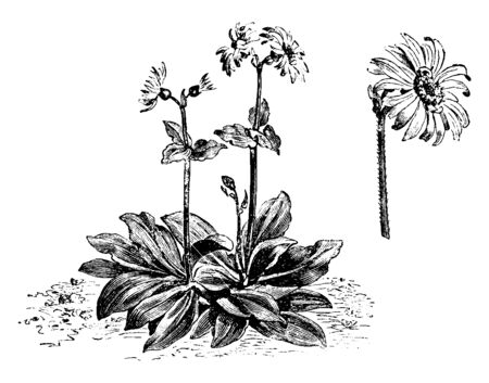 A picture shows Habit & Flower-Head of Arnica Montana flowering Plant. Leaves are yellow, long, sharp plain edges and its stem has thin Hair. Large amount of Stamen are present at center of the flower, vintage line drawing or engraving illustration. Ilustracja
