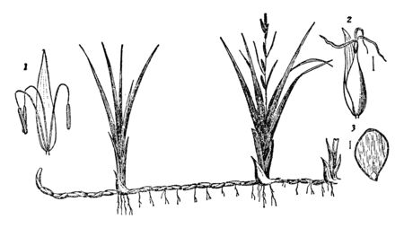 Carex is a genus of Cyperaceae. It is called as sedges and also the study of Carex is known as caricology, vintage line drawing or engraving illustration. Ilustração