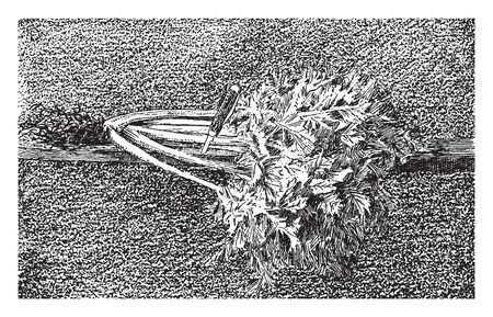 Celery leaves has high content of vitamin A. It can grow to the height of up to 16 inches, vintage line drawing or engraving illustration.