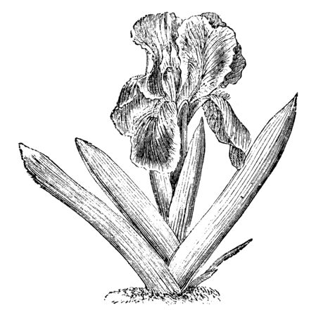 A dwarf & small Iris plant. The flowers are a bright lilac purple color, vintage line drawing or engraving illustration. Ilustrace