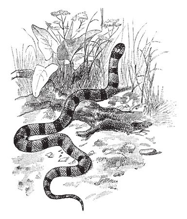 Coral Snake is a venomous snake with thick red yellow and black bands, vintage line drawing or engraving illustration.