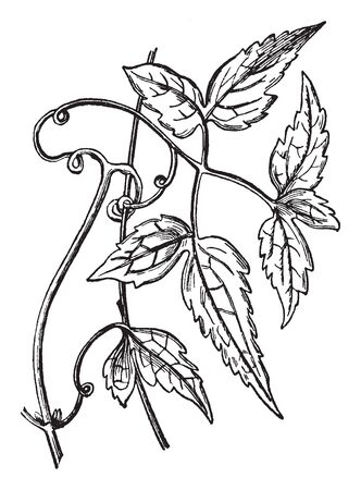 Picture of clematis plant. Leaves are long and stalks are twisted in shape. Flowers are bloom only on the ends of new stems, vintage line drawing or engraving illustration. 向量圖像