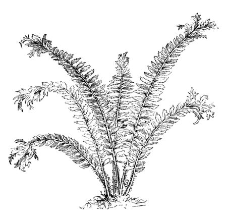 A picture showing Aspidium Angulare Grandiceps. It is commonly known as the soft shield fern, this fern has a broad and bunch head, vintage line drawing or engraving illustration.
